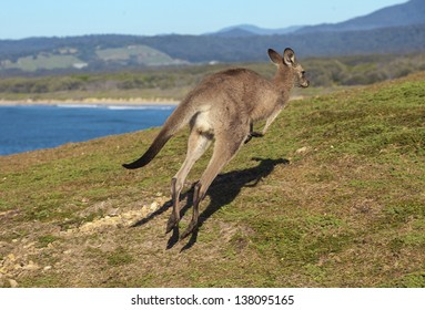 Australian grey kangaroo hopping against blue sky and ocean views