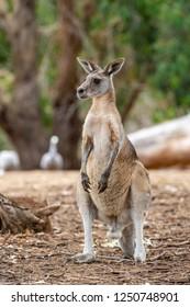 Australian grey kangaroo. Phillip Island. Victoria. Australia