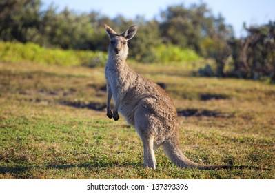 Australian grey kangaroo standing against blue sky and ocean views
