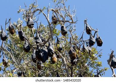 Australian Grey-headed Flying Fox colony