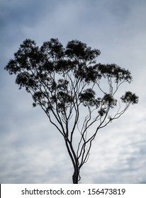Australian gum tree (eucalyptus) silhouetted against a dramatic cloud-filled sky