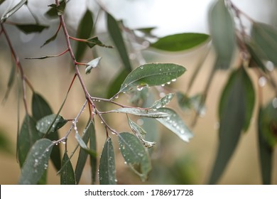 Australian gum tree leaves and gumnuts close up covered in water droplets after winter rain