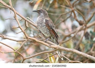 Australian honey eater or wattle bird