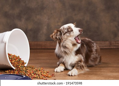 Australian husky next to a spilled tub of dog food.