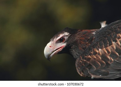 Australian icon and fauna emblem is critically endangered and the largest bird of prey