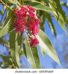 Australian iconic red eucalyptus flowers with green gum leaves and blue sky background close up in square format