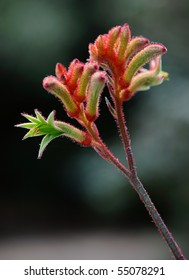australian kangaroo paw flower in the bush