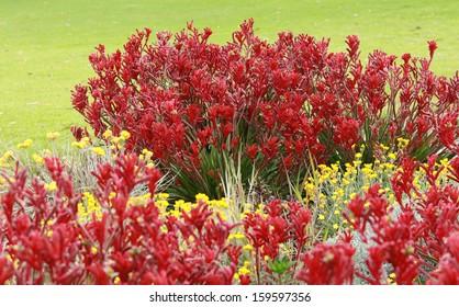 Australian Kangaroo Paw flowers in garden with green grass background