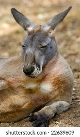 Australian Kangaroo resting on his side - Portrait