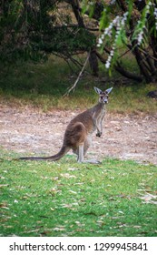 Australian Kangaroo standing upright with long tail on ground in Western Australia