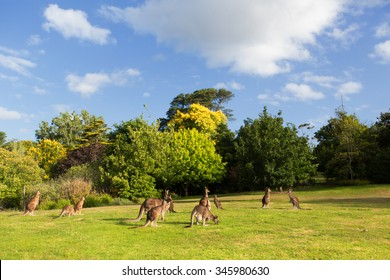 Australian kangaroos on grass
