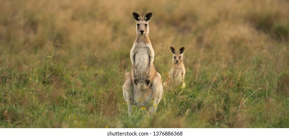 Australian kangaroos outdoors during the day in a country field.