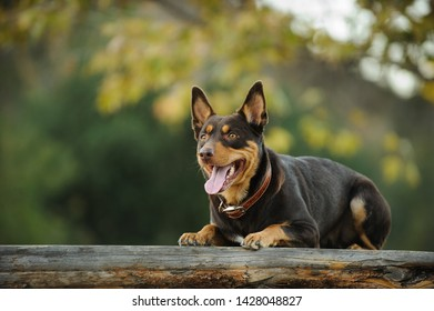 Australian Kelpie dog lying down on wood bench outdoors in nature