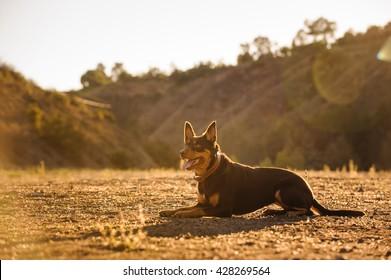 Australian Kelpie dog lying in a field with golden light