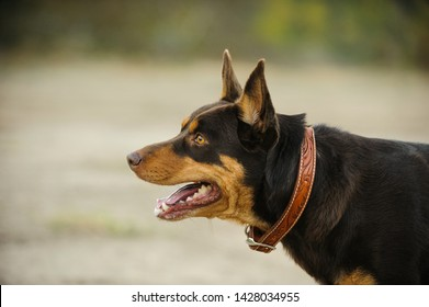 Australian Kelpie dog outdoor portrait