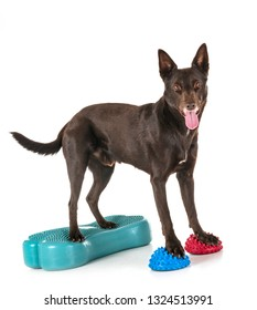 Australian Kelpie in front of white background