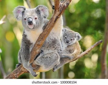 Australian Koala Bear with her baby in eucalyptus tree ,coffs harbor, Sydney, NSW, Australia grey bear