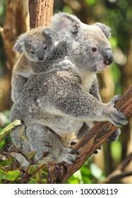 Australian Koala Bear with her baby or joey in eucalyptus or gum tree , Sydney, new south wales, Australia grey bear