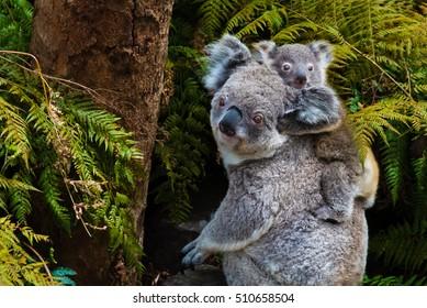 Australian koala bear native animal with baby on the back.