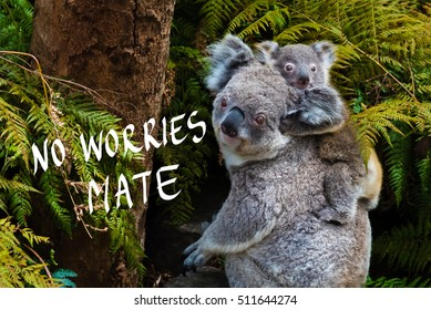 Australian koala bear native animal with baby on the back and No Worries mate text