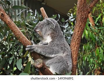 Australian koala bear on eucalyptus or gum tree. Sydney, NSW, Australia. exotic iconic Aussie mammal animal