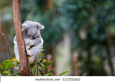An Australian Koala bear sleeping in the gum trees.