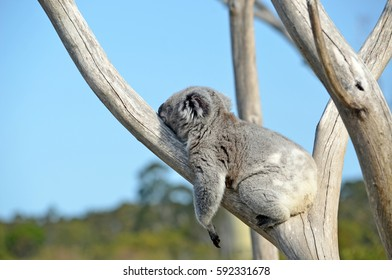 Australian Koala (Phascolarctos cinereus) sleeping in a gum tree. Iconic marsupial mammal of Australia