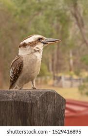 Australian kookaburra or laughing jackass closeup sitting on a post