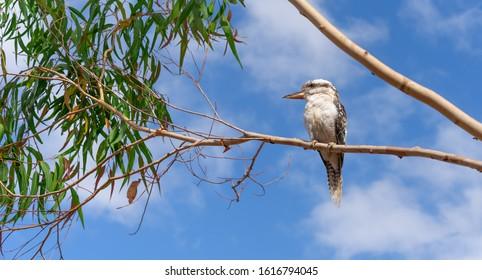 An Australian kookaburra or Laughing Jackass perched in a gum tree