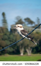 An Australian kookaburra on a powerline