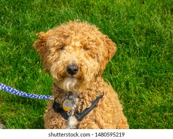 Australian Labradoodle is a mix between the Labrador Retriever, Poodle and Cocker Spaniel.