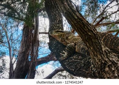 Australian lace monitor or lace goanna Varanus varius, climbing a tree, Queensland rainforest Australia
