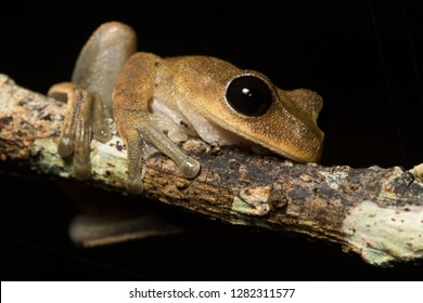 Australian lace-lid (Nyctimystes dayi), an endangered species of frog endemic to Far North Queensland.