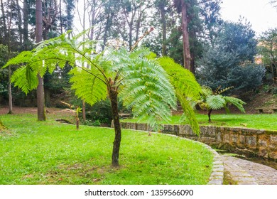 Australian or lacy tree fern, Cyathea cooperi, cultivated as an ornamental plant