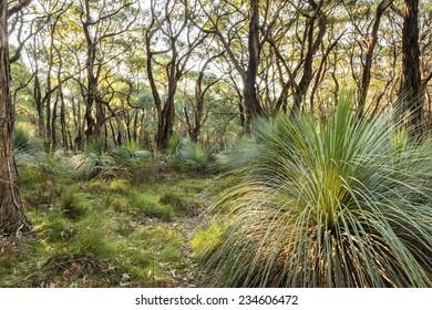 Australian landscape of grass trees in South Australia's Deep Creek Conservation Park