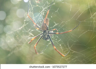 Australian Large Golden Orb-weaving Spider Nephila plumipes on a Spiderweb holding Her Catch