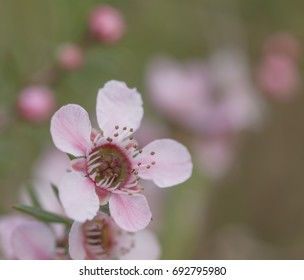 Australian Leptospermum Pink cascade floral background for condolences and sympathy message with copy space
