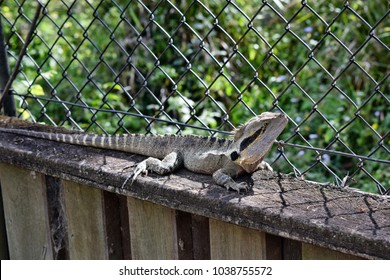 The Australian lizard eastern water dragon ( Physignathus lesueurii) on fence of Noosa National Park, Sunshine Coast, Queensland, Australia