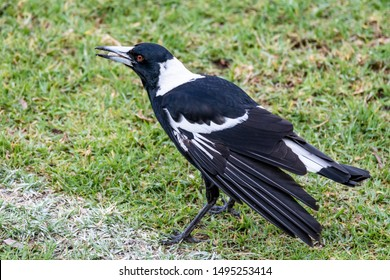 Australian Magpie at Adelaide