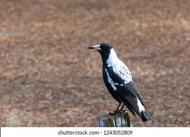 Australian magpie bird in black and white plumage perching on wood during Autumn in Australia (Gymnorhina tibicen)