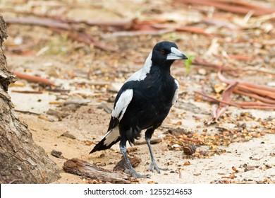 Australian Magpie bird walking on sandy ground in Australia (Gymnorhina tibicen)