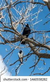Australian Magpie & Magpie-lark, Adelaide, Australia
