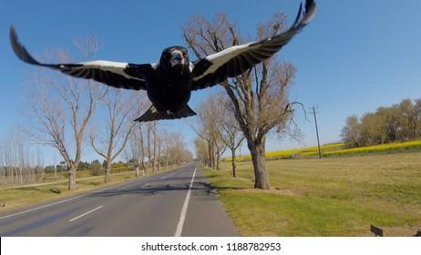 Australian Magpie Swooping