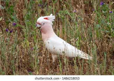 Australian Major Mitchell or Pink Cockatoo