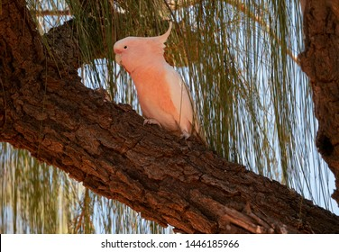 Australian Major Mitchell's Cockatoo sitting on a Tree