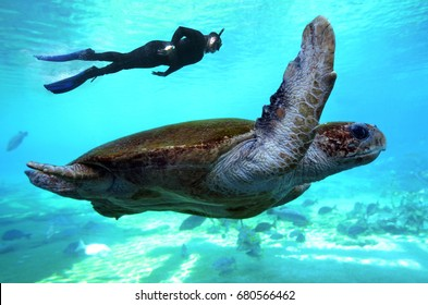 Australian man free diving with green Pacific sea turtle in the Great Barrier Reef in Queensland Australia.Real people. Copy space