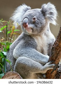 Australian marsupial koala bear sitting on a branch