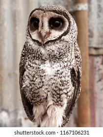 Australian masked owl, Tyto novaehollandiae, perched on branch