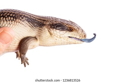 Australian Mature Eastern Blue Tongue Lizard in adult hand with tongue exposed in defence - closeup isolated on white background with copy space in horizontal
