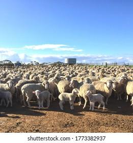 Australian merino ewes and lambs in a yard.